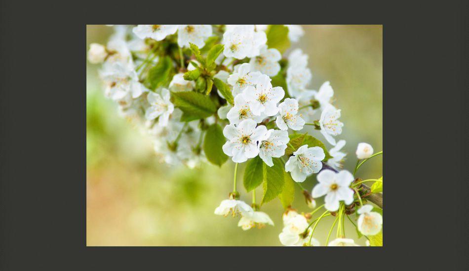 6aa73fe77edb59 Fototapeta Delikatna białe kwiaty